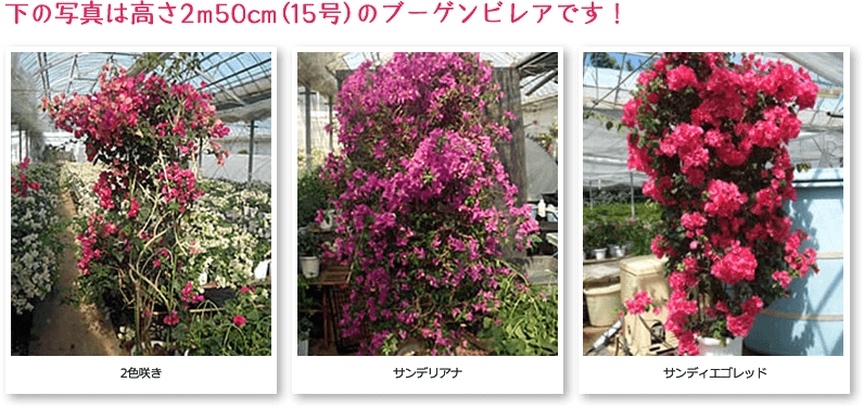 サイズの大きいものは高さ2m50cm(15号)もあります。